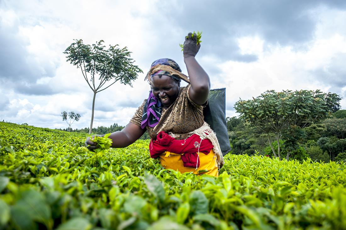 kenya tea pickers limuru Wieke Braat