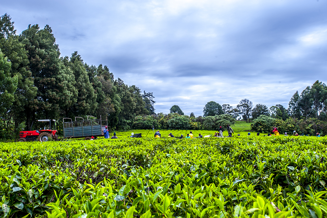 Limuru Tea Pickers Wieke Braat