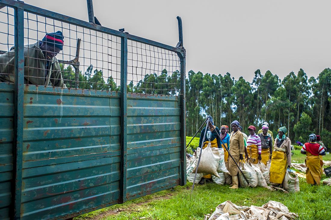 Limuru Tea Pickers Wieke Braat